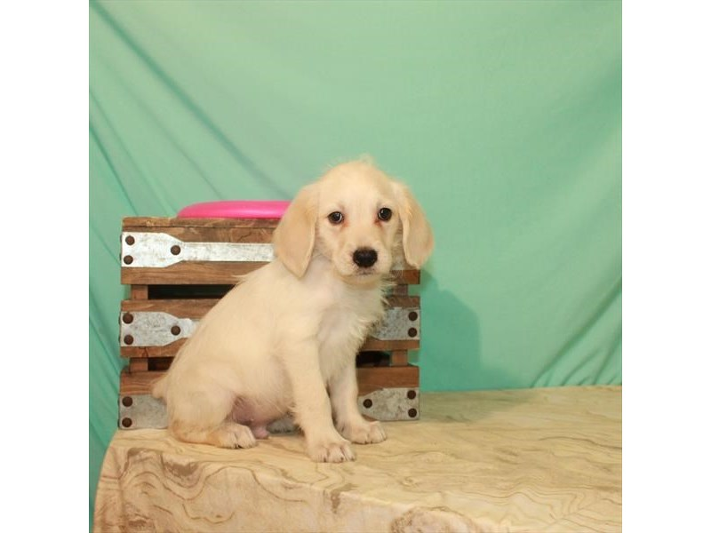 Miniature Labradoodle-Male-Yellow-2779819-My Next Puppy
