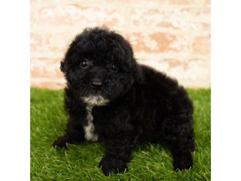 Poodle-Female-Black-2787775-My Next Puppy