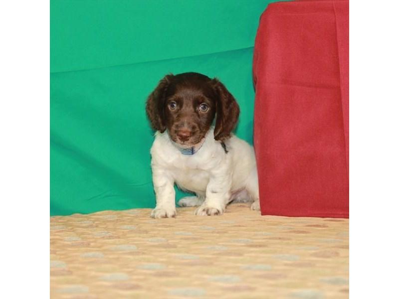 Dachshund-Male-Chocolate / Tan-2807860-My Next Puppy