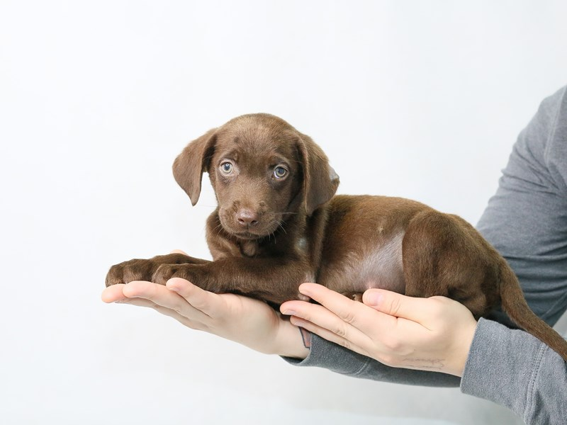 Labrador Retriever-Male-Chocolate-2832379-My Next Puppy