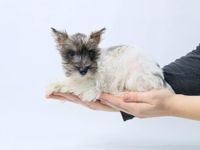 Miniature Schnauzer-Female-Brown-2847449-My Next Puppy