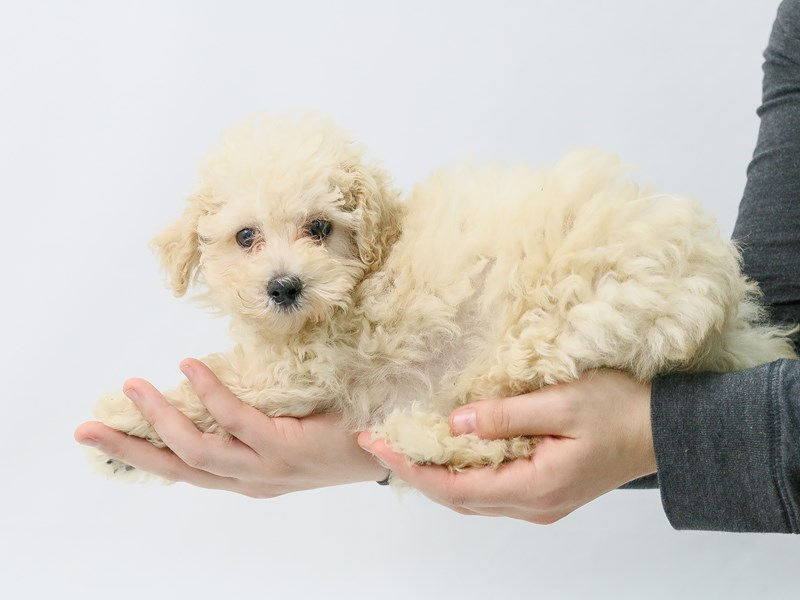 Miniature Poodle-Male-Cream-2847450-My Next Puppy