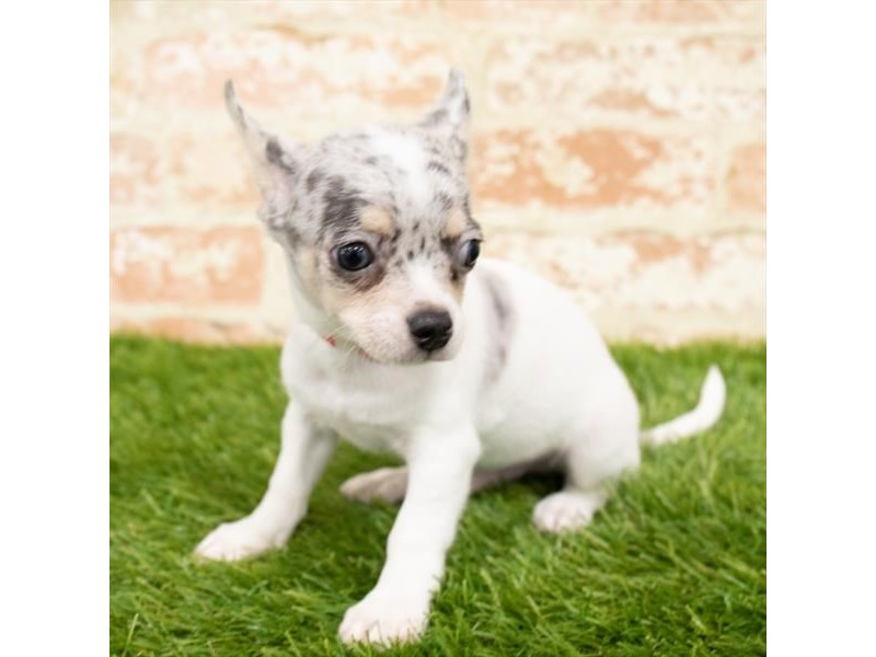 Chihuahua-Male-Blue Merle-2854805-My Next Puppy
