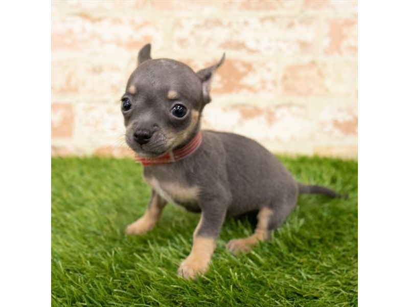 Chihuahua-Male-Black / Tan-2854806-My Next Puppy