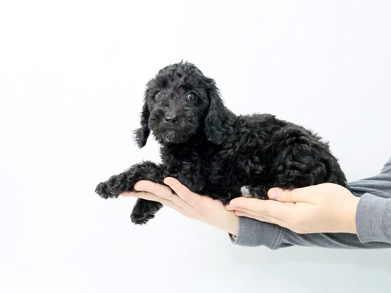 Mini Goldendoodle-Female-Black White-2854090-My Next Puppy
