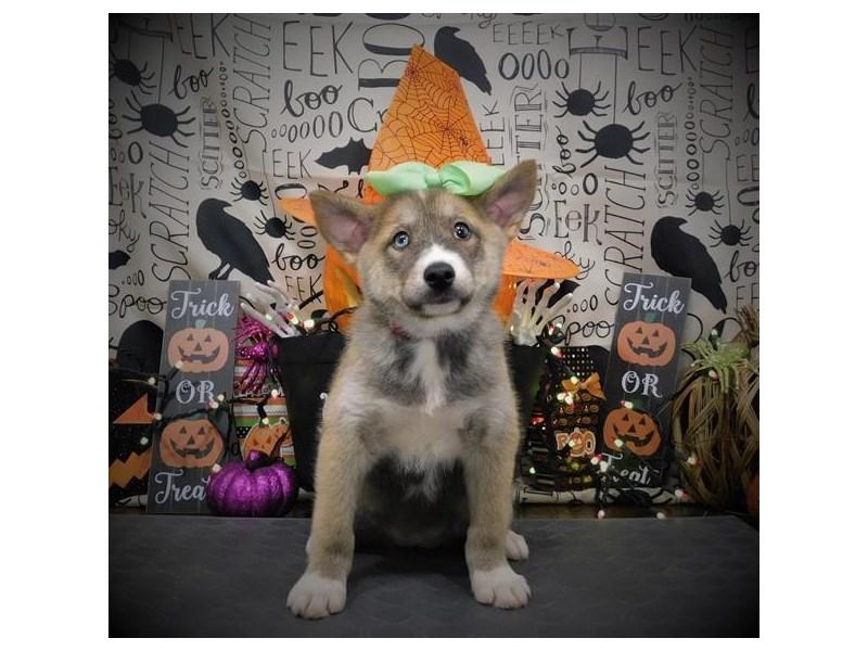 Pomsky-Female-Orange Sable-2862106-My Next Puppy