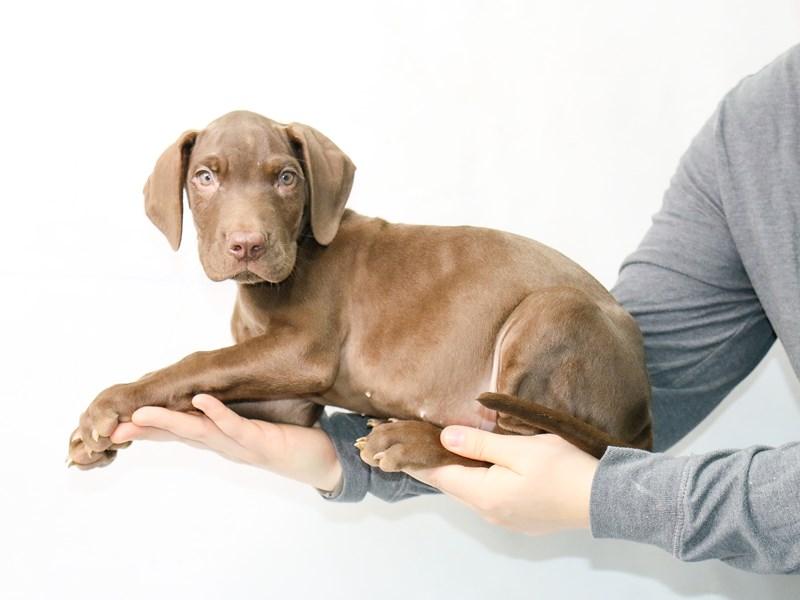 Great Dane-Male-Chocolate-2862105-My Next Puppy