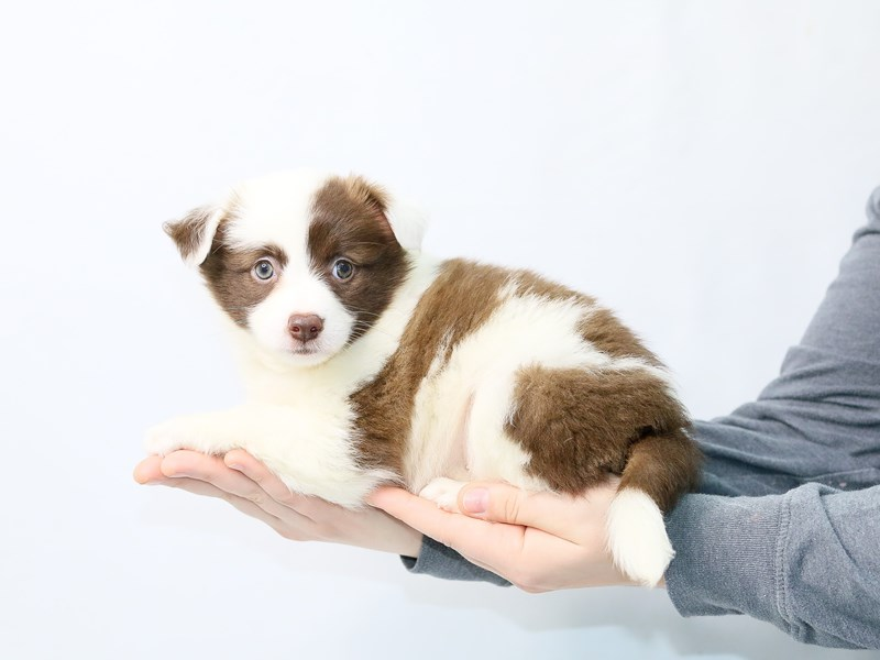Aussimo-Female-SABLE WHITE-2861239-My Next Puppy