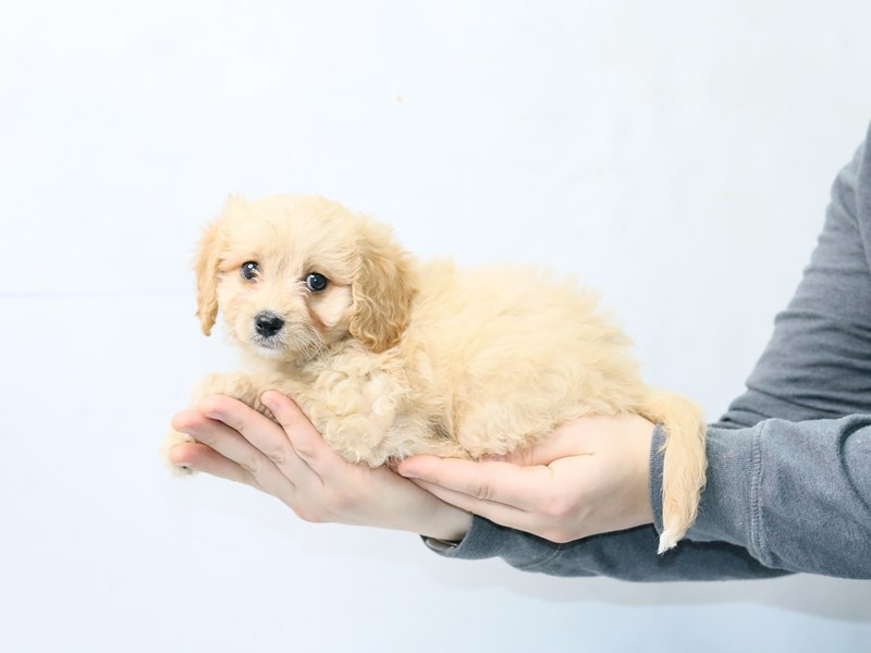 Cavachon-Female-RUBY-2861393-My Next Puppy