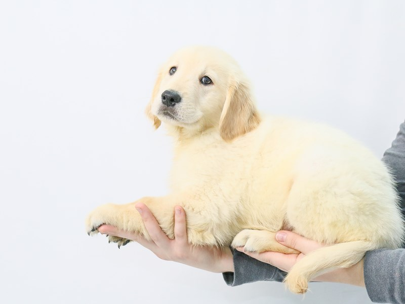 Golden Retriever-Female-Golden-2868599-My Next Puppy