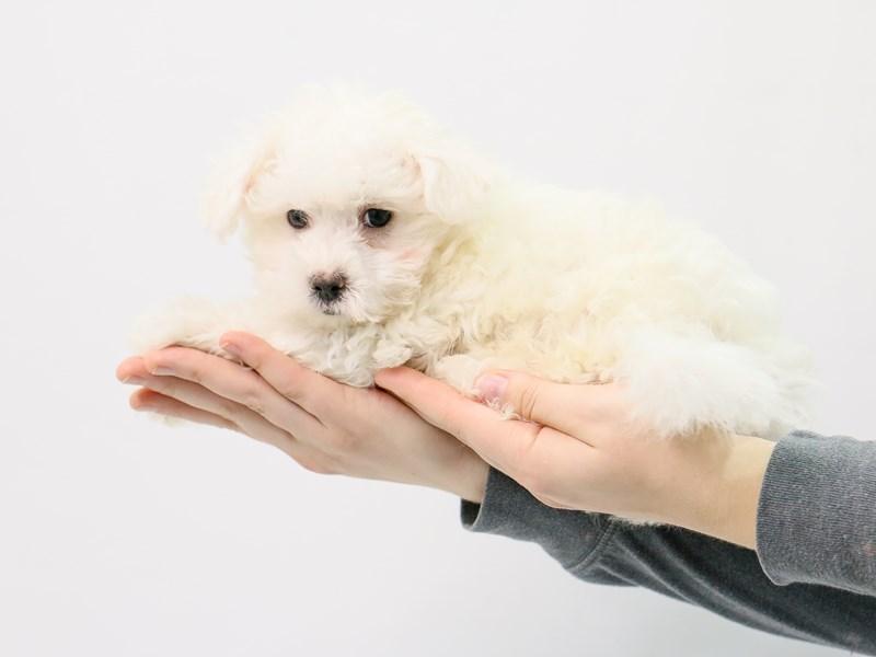 Maltese-Male-White-2869894-My Next Puppy