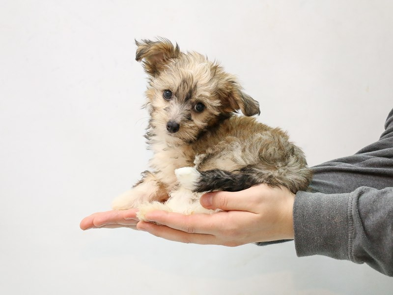 Chinese Crested-Female-Sable-2874959-My Next Puppy