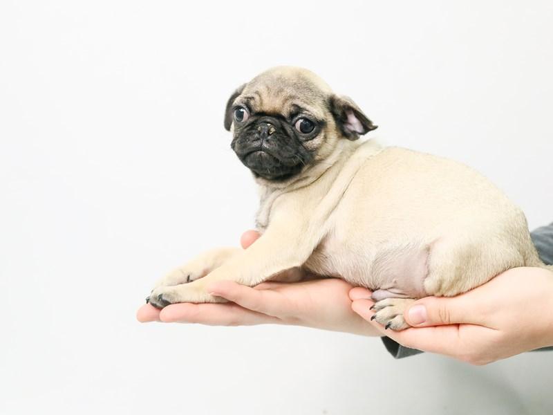 Pug-Male-Fawn-2807848-My Next Puppy