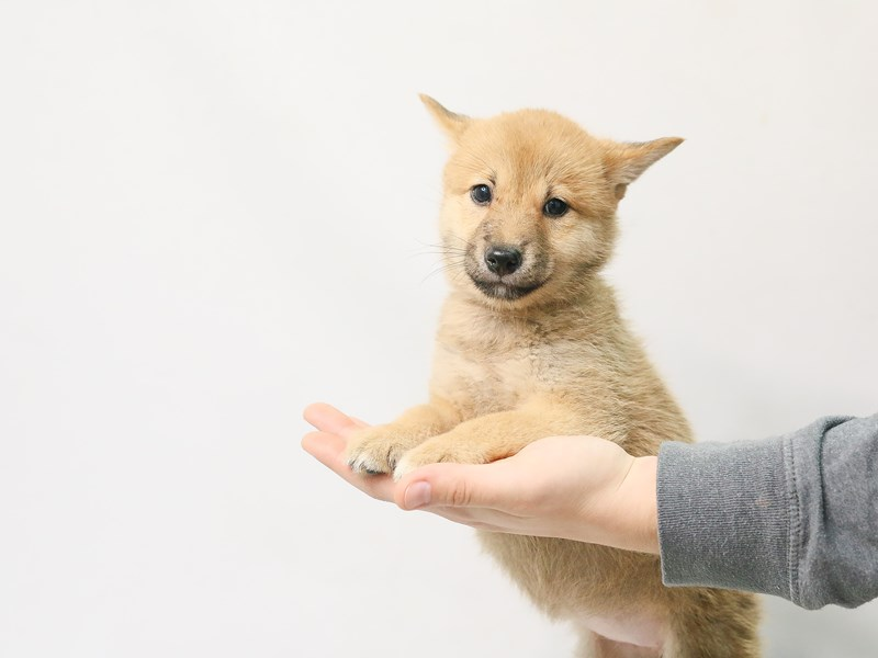 Shiba Inu-Female-Red Sesame-2807850-My Next Puppy