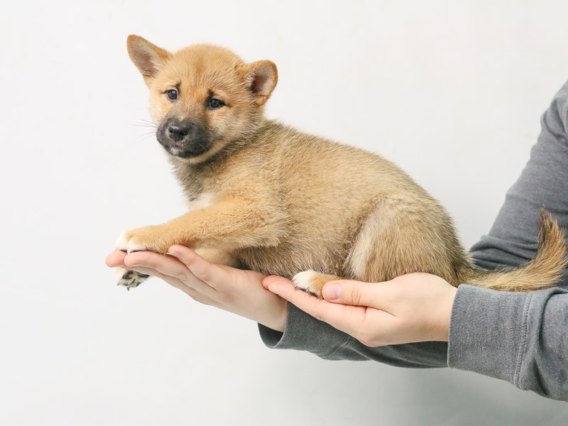 Shiba Inu-Female-Red Sesame-2807851-My Next Puppy