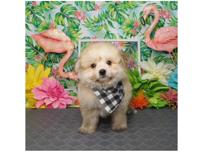 Pomachon-Male-Cream Sable-2817150-My Next Puppy