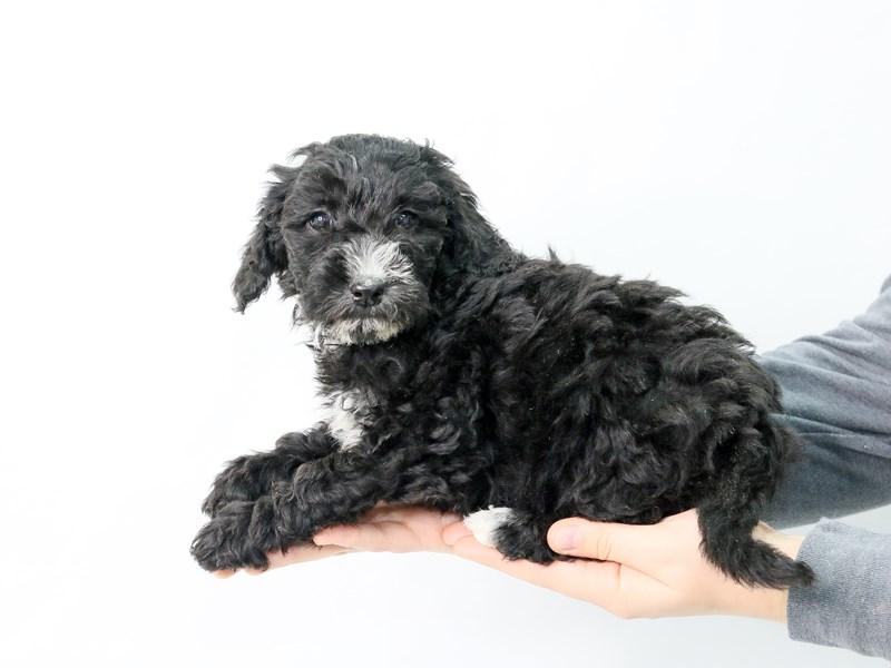 Mini Goldendoodle-Female-Black & White-2854094-My Next Puppy