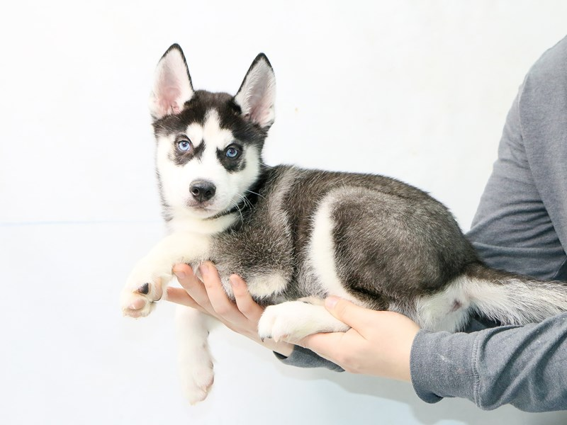 Siberian Husky-Male-Black / White-2862107-My Next Puppy