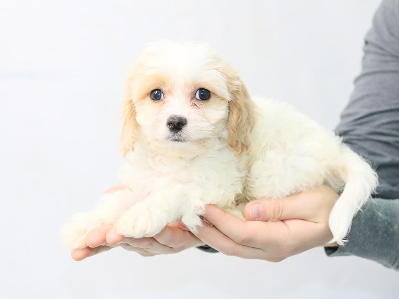 Cavachon-Male-BLENHEIM-2861384-My Next Puppy