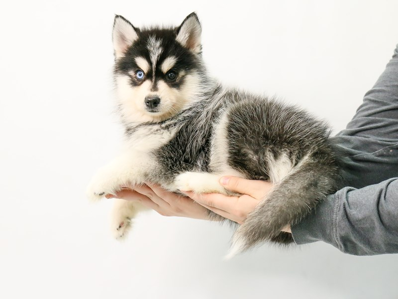 Pomsky-Female-Black / White-2869883-My Next Puppy