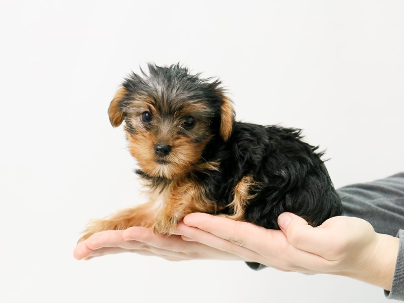 Yorkshire Terrier-Male-BLK TAN-2868831-My Next Puppy
