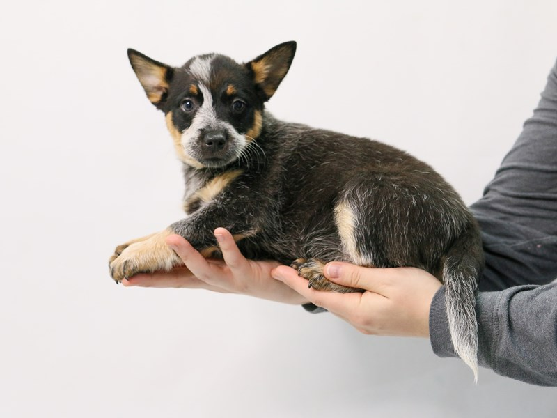 Australian Cattle Dog-Female-Blue Merle / Tan-2869896-My Next Puppy