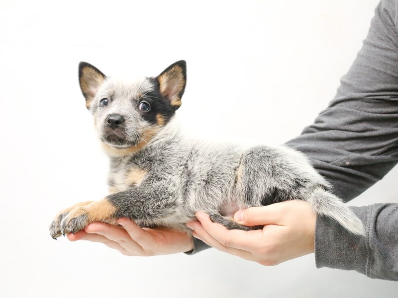 Australian Cattle Dog-Male-Blue-2874965-My Next Puppy