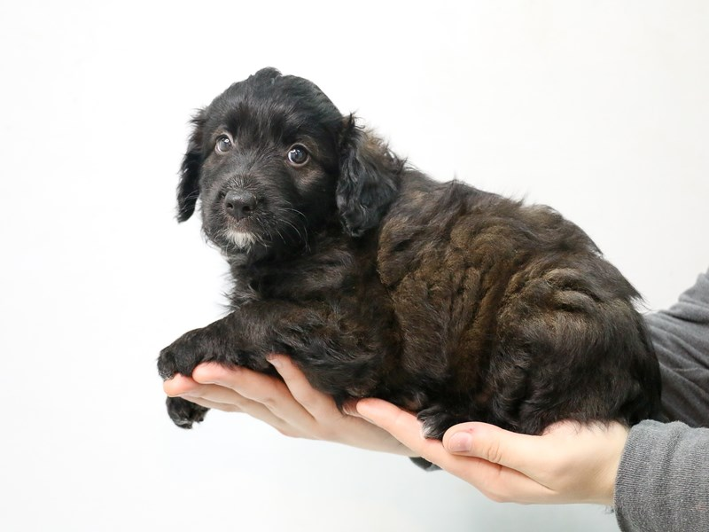 Aussiepoo-Male-BROWN WH-2875672-My Next Puppy