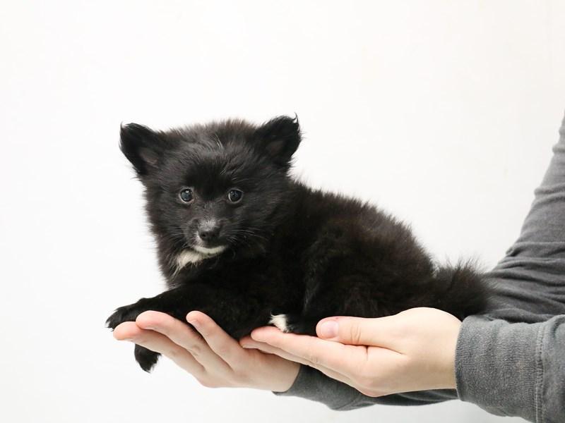 Pomeranian – Albert