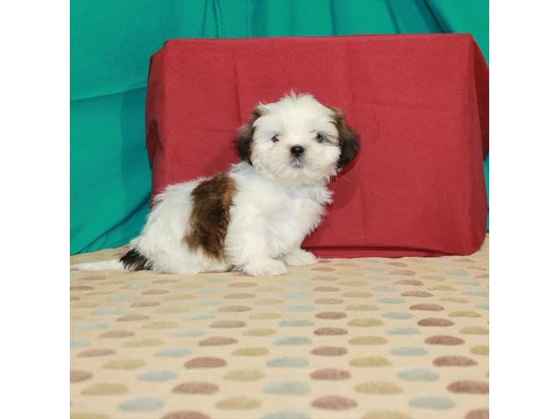 Shih Tzu-Male-White / Gold-2885085-My Next Puppy