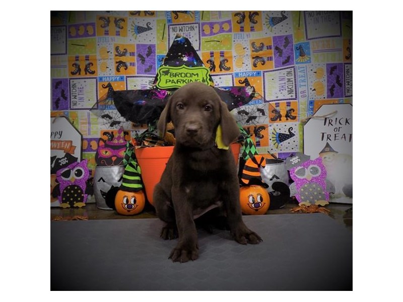 Labrador Retriever-Female-Chocolate-2885086-My Next Puppy