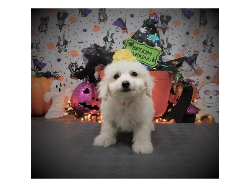 Bichon Frise-Female-White-2885089-My Next Puppy