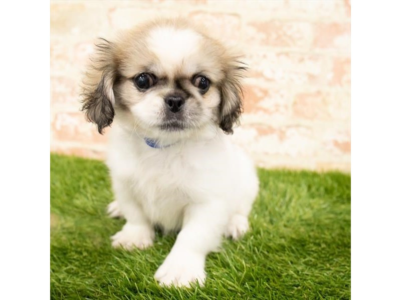Pekingese-Male-Sable / White-2885090-My Next Puppy