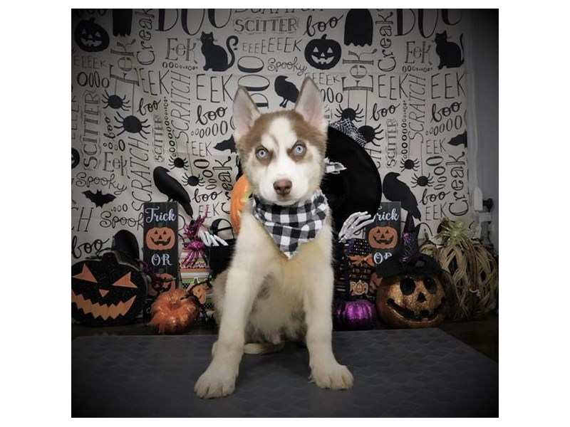 Siberian Husky-Male-Red / White-2885124-My Next Puppy