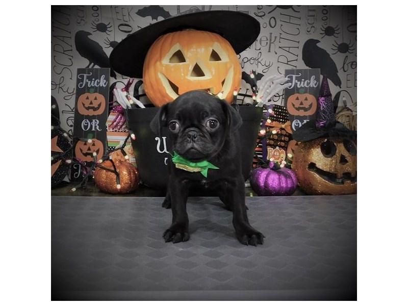 Pug-Female-Black-2885125-My Next Puppy