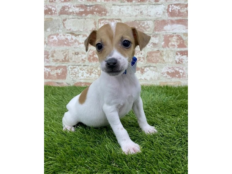 Jack Russell Terrier-Male-White-2885127-My Next Puppy