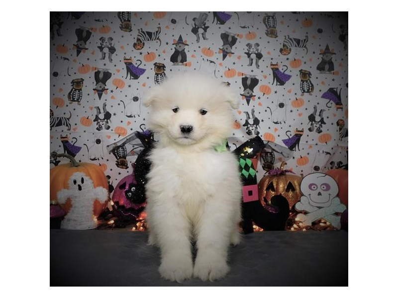Samoyed-Female-White-2889996-My Next Puppy