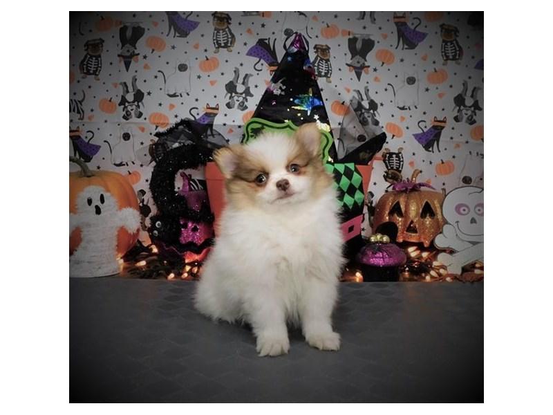Pomeranian-Female-Orange-2889998-My Next Puppy