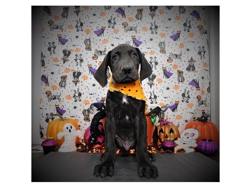 Great Dane-Male-Black-2890005-My Next Puppy