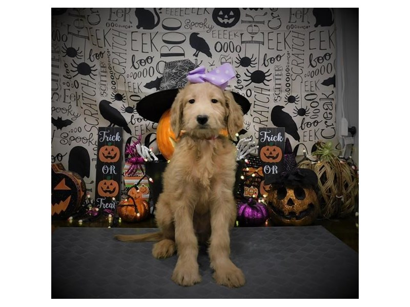 Goldendoodle-Female-Apricot-2890009-My Next Puppy