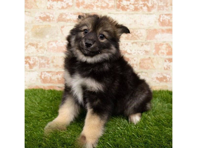 Pomsky-Female-Black / Tan-2890020-My Next Puppy