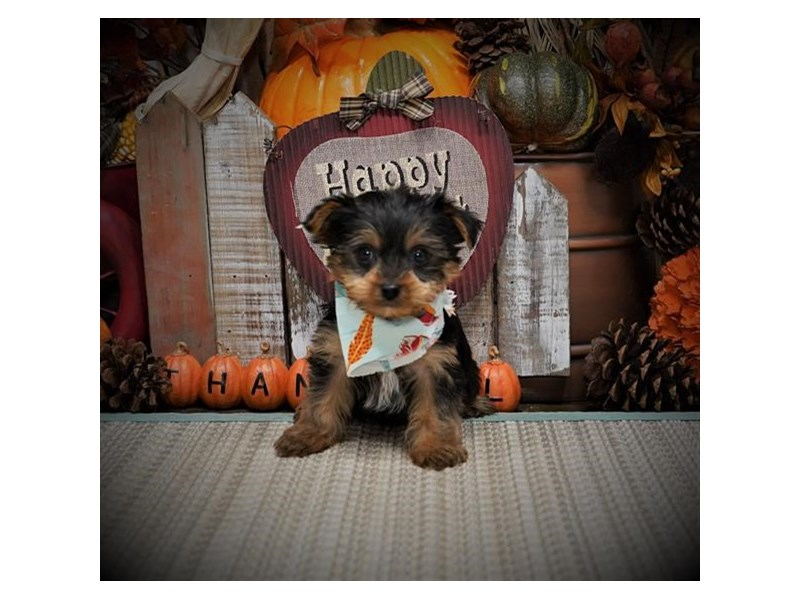 Yorkshire Terrier-Male-Blue / Tan-2896882-My Next Puppy
