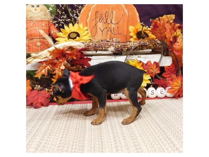 Miniature Pinscher-Male-Black / Rust-2896884-My Next Puppy