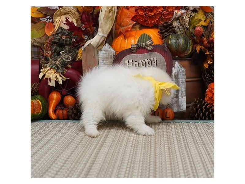 Pomeranian-Male-Cream-2896888-My Next Puppy