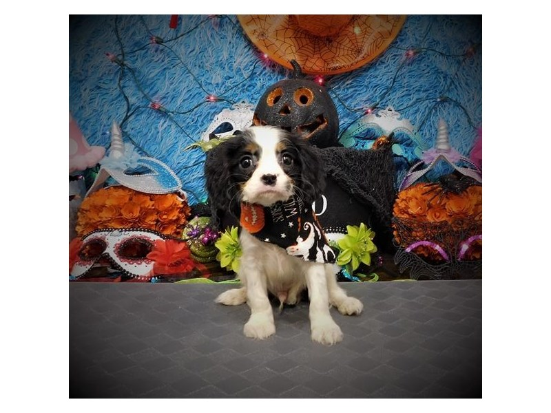 Cavalier King Charles Spaniel – Canvas