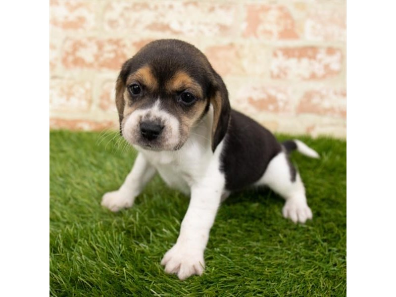 Beagle – Velvet