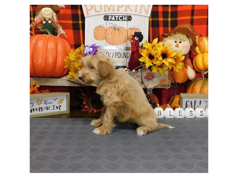 Goldendoodle Mini 2nd Gen-Female-Apricot-2896908-My Next Puppy