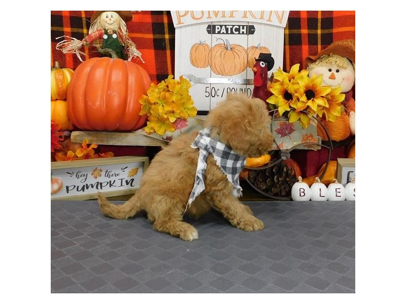 Goldendoodle Mini 2nd Gen-Male-Apricot-2896910-My Next Puppy