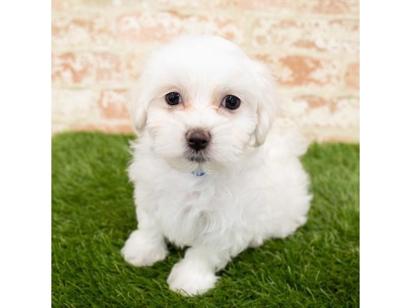Maltese-Male-White-2896911-My Next Puppy