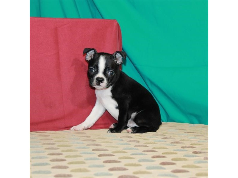 Boston Terrier-Female-Black / White-2903766-My Next Puppy